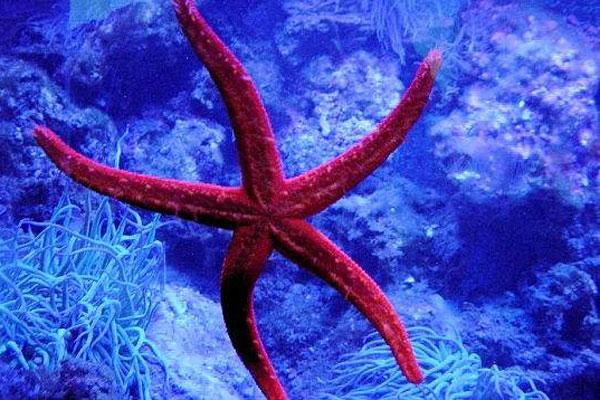 ستاره های دریایی ، گونه ای شگفت انگیز در اقیانوس ها(تصویری)