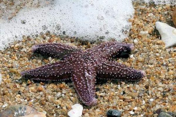 ستاره های دریایی ، گونه ای شگفت انگیز در اقیانوس ها(تصویری) www.TAFRIHI.com