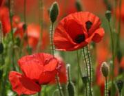 طرز نگهداری انواع گل در منزل