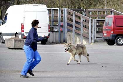 عکس: وقتی گرگ در خیابان قدم میزند!