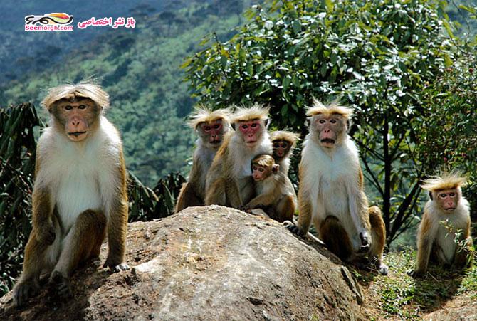 خانواده میمون ها