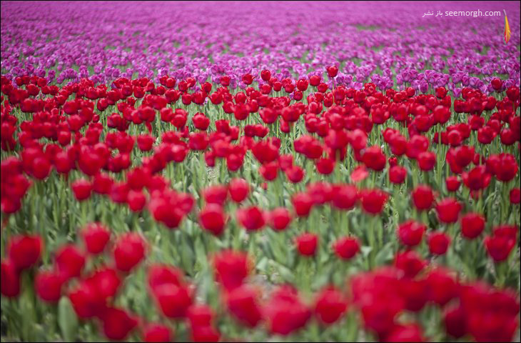 باغ گل هلند