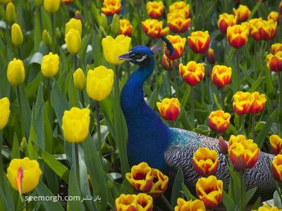 http://www.seemorgh.com/uploads/1391/04/Keukenhof-Gardens-2.jpg