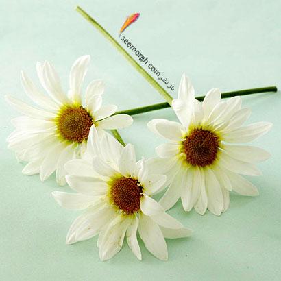 زبان گل ها,برای کسی که دوستش داریم چه گلی بخریم,معنای هر گل در رابطه,بابونه سفید