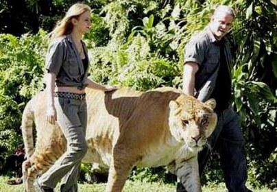Самая большая кошка на земле, между прочим.