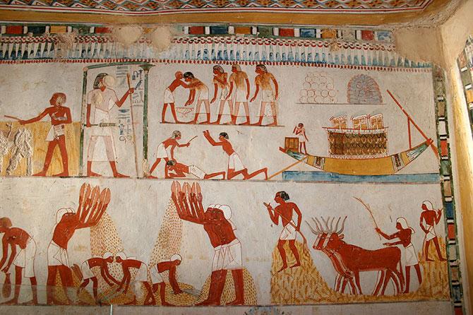 برداشت محصول مصر