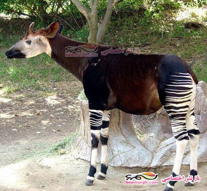 حیوانی عجیب، نتیجه جفت گیری زرافه و گورخر!! (+عکس)
