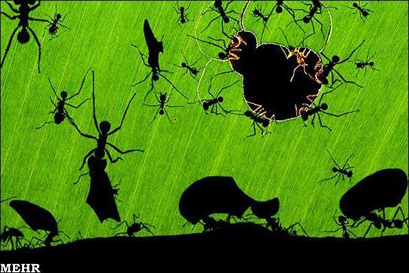 اعجاز مورچه ها