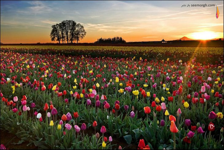 [تصویر: tulip-fields13.jpg]