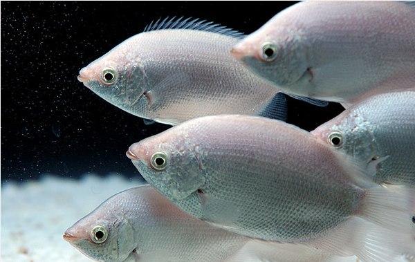 جشنواره ماهی های تزیینی در محلات ( تصویری )