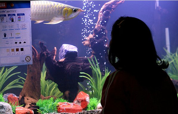 جشنواره ماهی های تزیینی در محلات ( تصویری ) www.TAFRIHI.com
